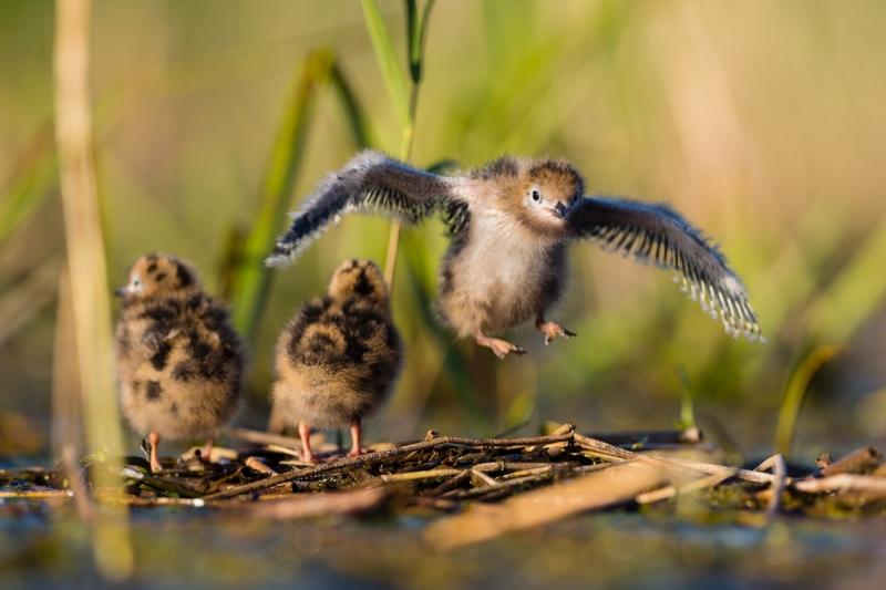 Väike lendur