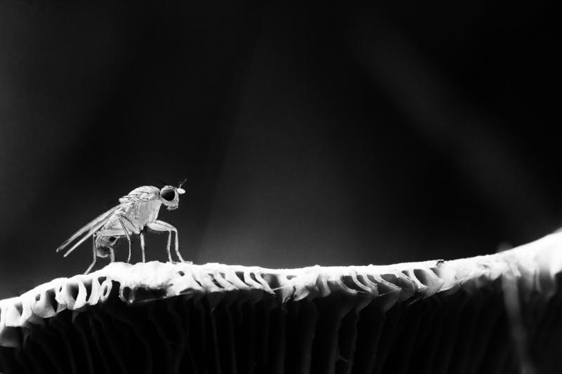 Kärbes jalutab seenel
