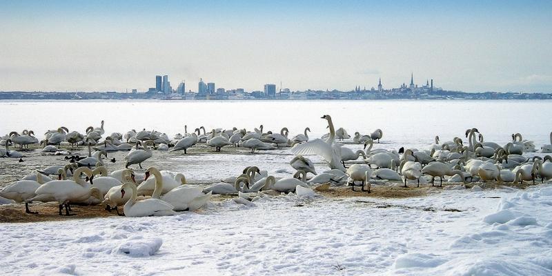 Tallinna luiged