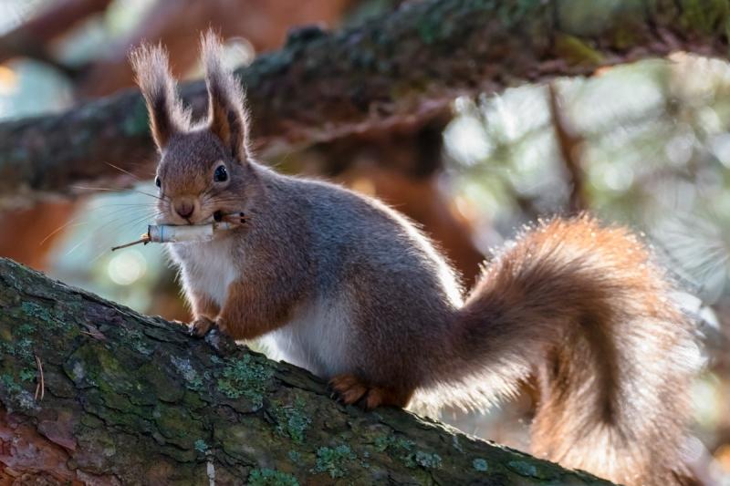 Konitav orav