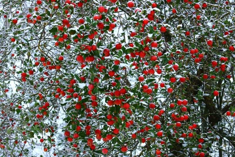 Lumi või õunad – metsik õunapuu