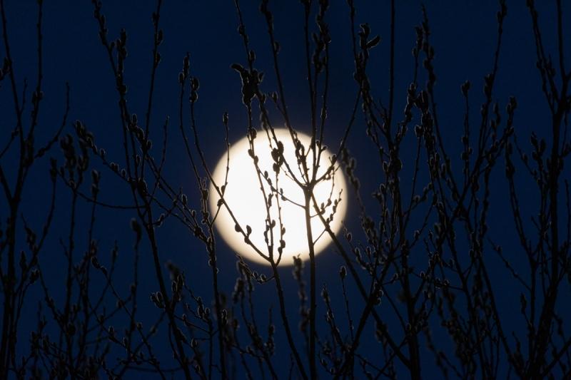 Kuu ja paju