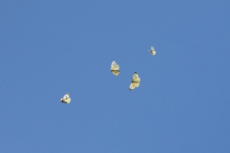 Liblikad taevasinas