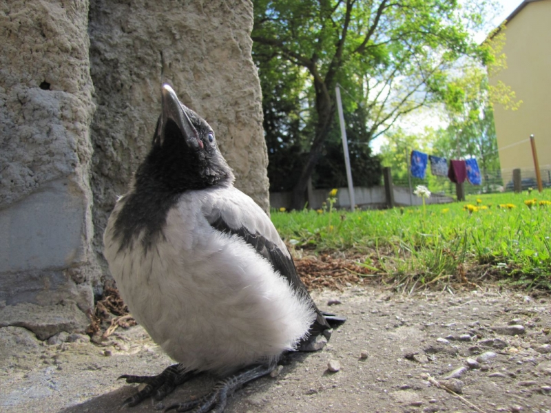 Vares, kes peab end pingviiniks