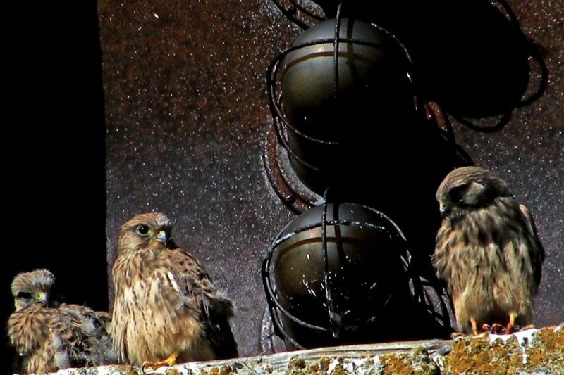 Kolm lindu põrnitsemas