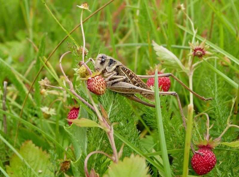 Ritsikas maasikal