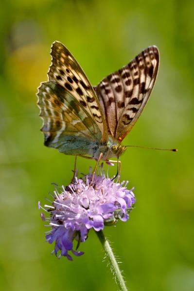 Kirju liblikas