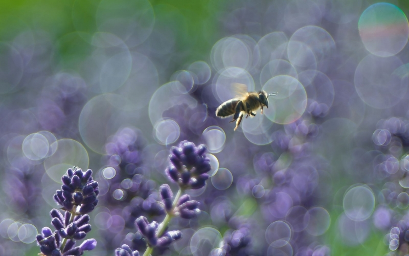 Lavendel ja mesilane