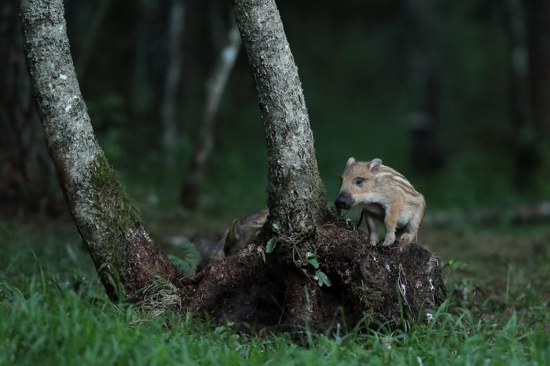 Väike põrsake