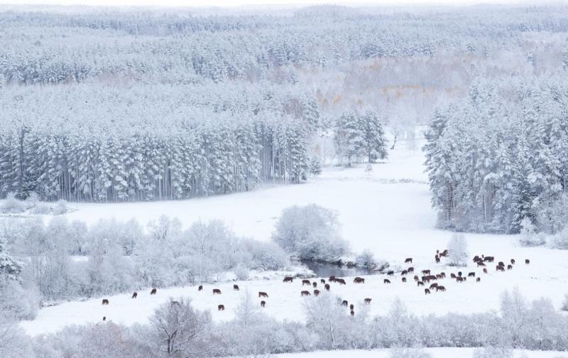 Lehmad söövad karjamaal