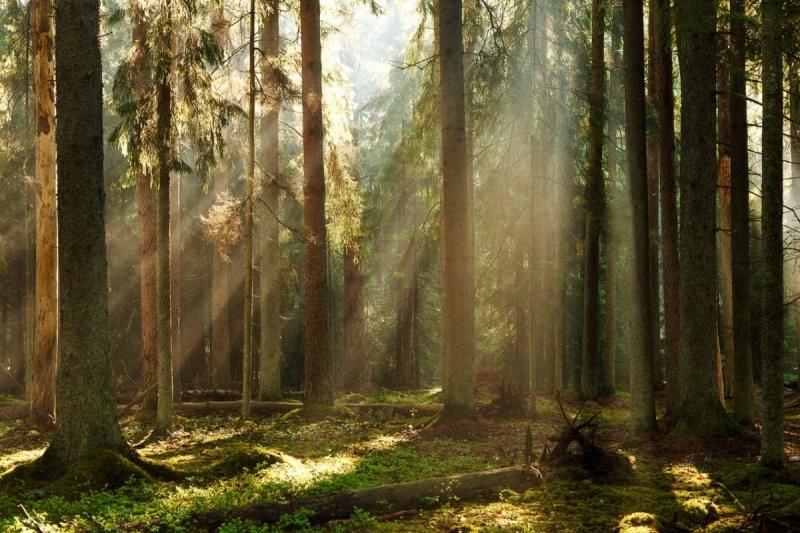 Hommik metsas