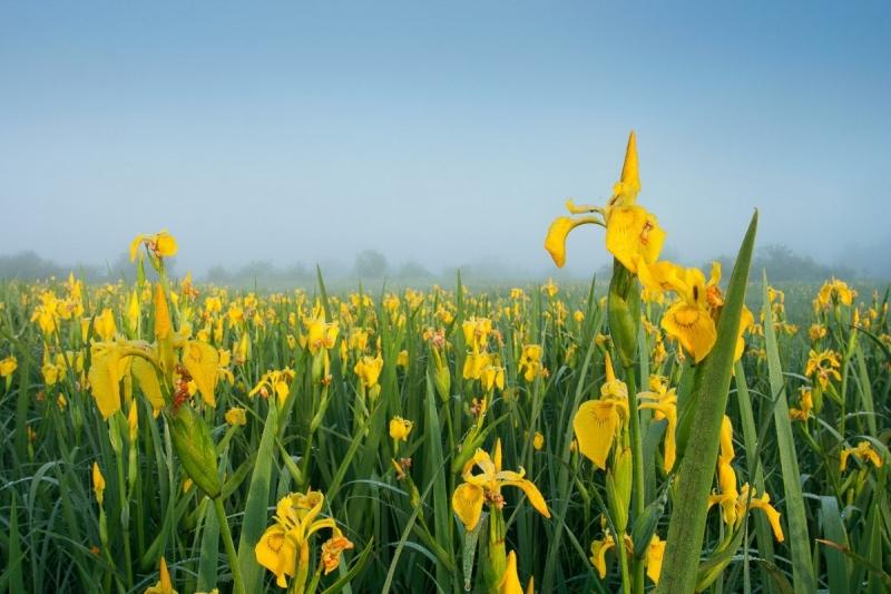 Kollased võhumõõgad hommikupäikese kuldses valguses
