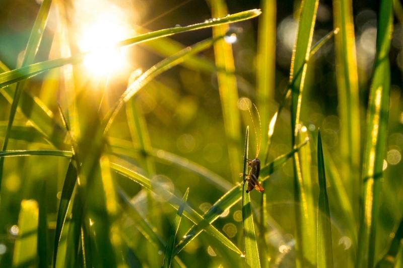 Roheline viiuldaja õhtupäikeses