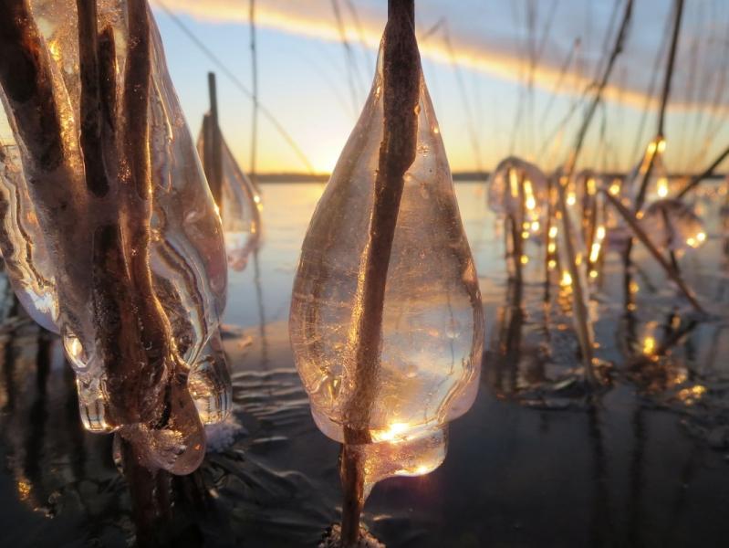 Tamula järve kuldsed pudelipuud