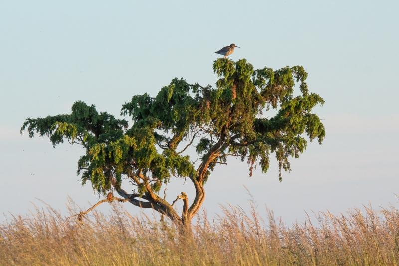 Saarema savann