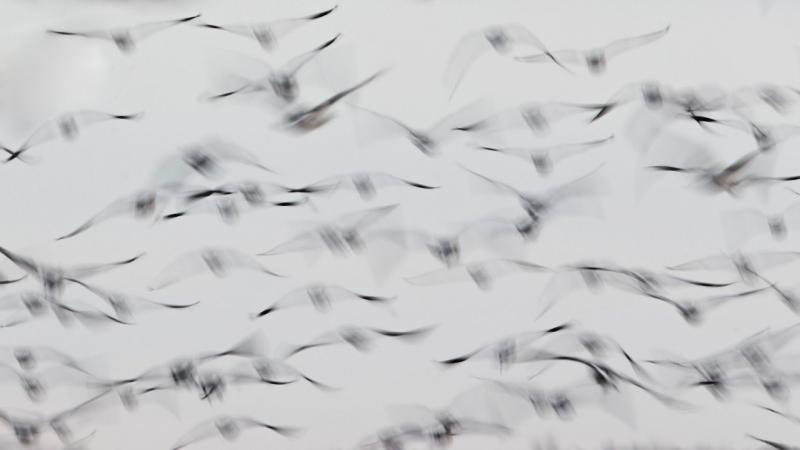 Hitchcocki linnud