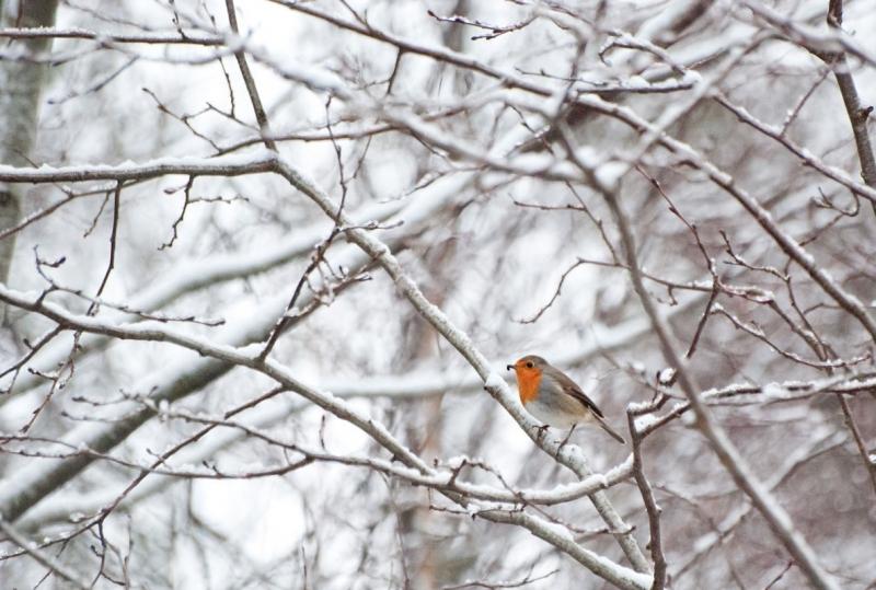 Punarind talvistes okstes